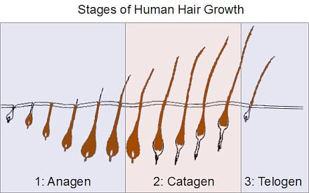 Hair grows in stages and length and growth rate must be gauged