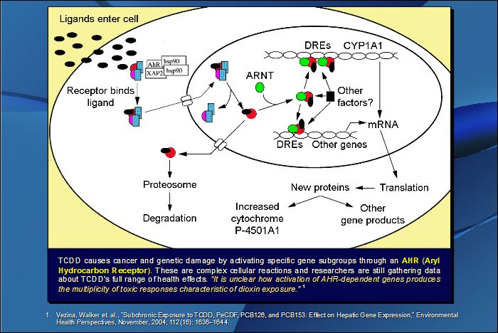 TCDD causes cancer and genetic damage by activating specific gene subgroups